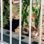 ノラ時代のクシュカと兄弟猫