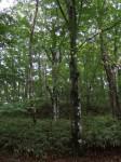 柳沢峠の木