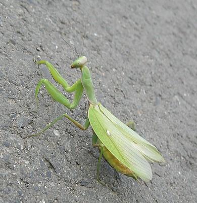 カマキリの画像 p1_37