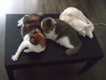 コーヒーテーブル上の三匹