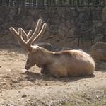 20060329-Pere_Davids_Deer